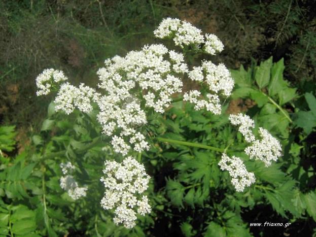 Valeriana officinalis flower close