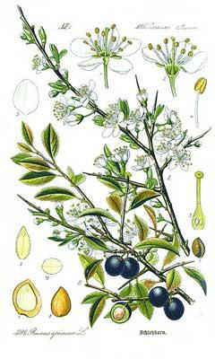 PrunusSpinosa